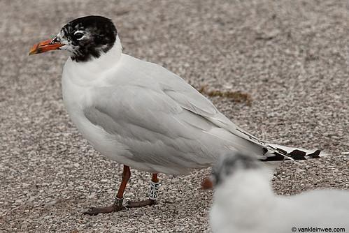 Mediterranean Gull, 3cy, W[E247]
