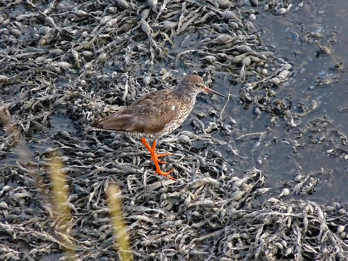 P1050720 - Redshank at Burry Port