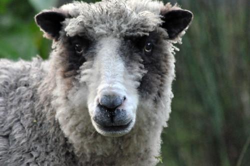 Maa our sheep