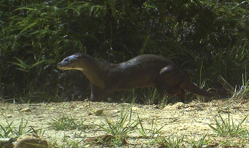 sleek hairy-nosed otter walking along sandy/grassy ground, jungle in the background