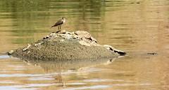 آبچليك (ahmadifard) Tags: sandpiper ايران پرنده پرندگان گناباد خراسانرضوي پرندگانايران تربتحيدريه آبچليك پرندهنگاري