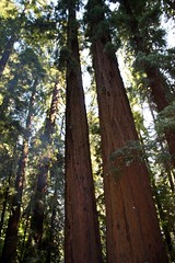 Redwood Majesty
