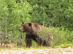 Medicine Lake Grizzly (Hello, It's Me (off few days)) Tags: bear canada danger jasper britishcolumbia wildlife canadian grizzly predator brownbear omnivore