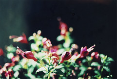 Little wonder (giuli@) Tags: flowers color colour film analog 35mm iso100 lenstagged xpro crossprocessed colore crossprocess dia slidefilm crossprocessing canonef35mmf2 fiori agfa lazio diapositiva bracciano canoneos300 agfactprecisa100 agfactprecisa canonef giuliarossaphoto noawardsplease nolargebannersplease