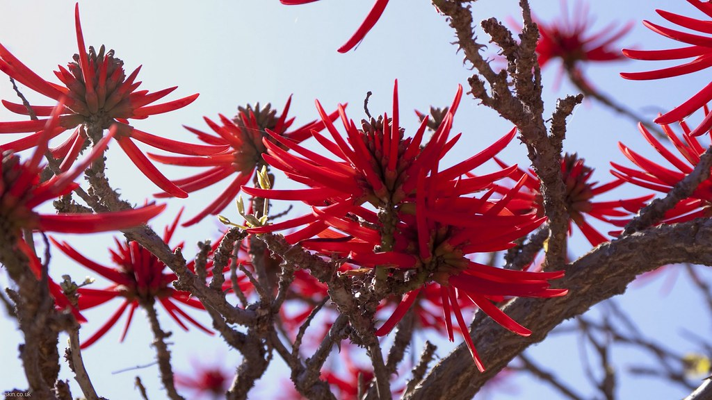 Full HD Wallpaper: Erythrina Flowers