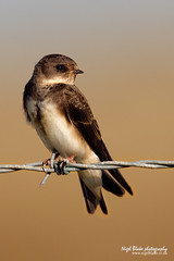 Sand Martin Riparia riparia (Nigel Blake, 2 million views Thankyou!) Tags: summer bird history nature birds fence photography wire sand martin natural wildlife migratory perched blake nigel barbed ornithology migrant hirundine riparia canoneos1dsmarkiii