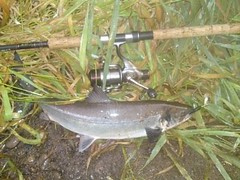 4lb Grilse (salmoferox) Tags: river scotland fishing salmon catchrelease rivercarron 4lb grilse