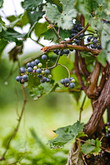 Vineyard in Leichtenstein (Nooche) Tags: trees color art closeup fruit scenery bokeh 85mmf18 leichtenstein