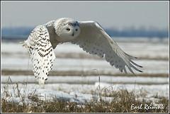 20100311-0082 Snowy Owl (Earl Reinink) Tags: flight raptor snowyowl snowyowlinflight earlreinink wwwearlreininkcom wwwipaintca