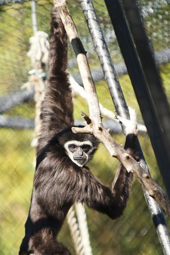 Gibbon Glare
