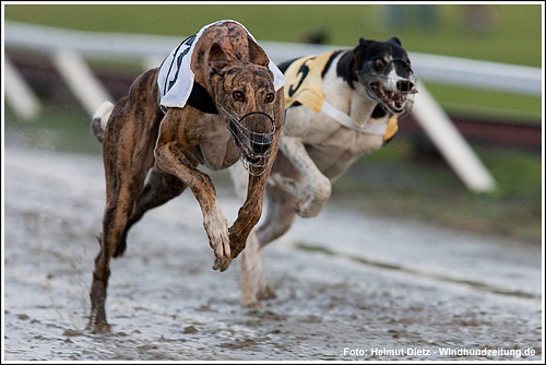 FCI World Championship 2010 Rabapatona Greyhound-Friendship-Race-Final