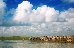 Under the blue sky and those white clouds.. (octa_rayan) Tags: blue sky cloud clouds river landscape cow boat cows pentax bangladesh grazing boatride padma riverscape k200d