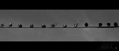 In a row. (Josephine Dahl) Tags: venice summer sky blackandwhite bw bird birds animals blackwhite dove air cable olympus lookingup venezia zuiko doves inaline inarow e420