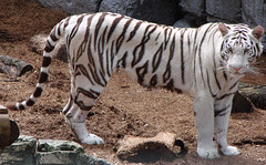 White Tiger (DLP ( Vacation 05-18-13 to 06-02-13 )) Tags: park white cat tampa zoo big florida tiger lowry