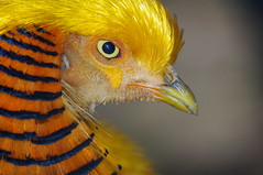 I've Got My Eye on You... on Getty (JebbiePix) Tags: china macro bird eye yellow closeup gold golden pheasant chinese beak feathers getty gettyimages goldenpheasant    thegalaxy natureplus colorphotoaward  100commentgroup newgoldenseal qualitygold tplringexcellence  eltringexcellence rememberthatmomentlevel4 rememberthatmomentlevel1 rememberthatmomentlevel2 rememberthatmomentlevel3 rememberthatmomentlevel5 rememberthatmomentlevel6