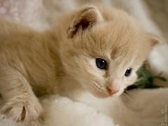 20080805_7557b (Fantasyfan.) Tags: pet cute look animal topv111 tag3 taggedout cat eyes furry topv555 topv333 kitten tag2 tag1 fluffy fantasyfanin pixeli highqualityanimals