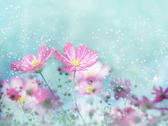 [フリー画像] 花・植物, キク科, コスモス・秋桜, 201011060700
