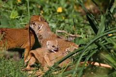 Blijdorp-5540 (Arie van Tilborg) Tags: zoo blijdorp cynictispenicillata mangoest vosmangoest zoogdier arievantilborg