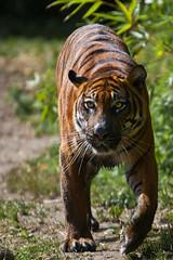Blijdorp-5715 (Arie van Tilborg) Tags: zoo blijdorp gio hermes alia vanni sumatraansetijger arievantilborg tijgertjes tijgerwelp