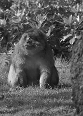 Monkey Forest (@AnnerleyJohnsonPhotos) Tags: monkey forest monkeyforest trentham trenthamgardens barbary macaque barbarymacaque bw black white blackandwhite blackwhite animal europe european beast wildlife creature critter living alive zoological animaux tier animale animales bestia bestie bête brute annerleyjohnson annerleyjphotos