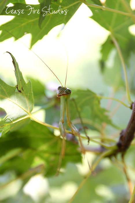 09-14-mantis2