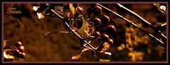 Shades of Autumn (Patricia Speck) Tags: autumn light fall dark colours berries framed shades browns frame oranges tricia reds patricia speck
