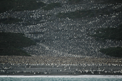 King Penguin colony 01 - Salisbury Plain, South Georgia_.jpg