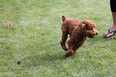 A game of tag (Lansun) Tags: puppy bbq poodle stanford apricot 70200mm redpoodle asianpoodle