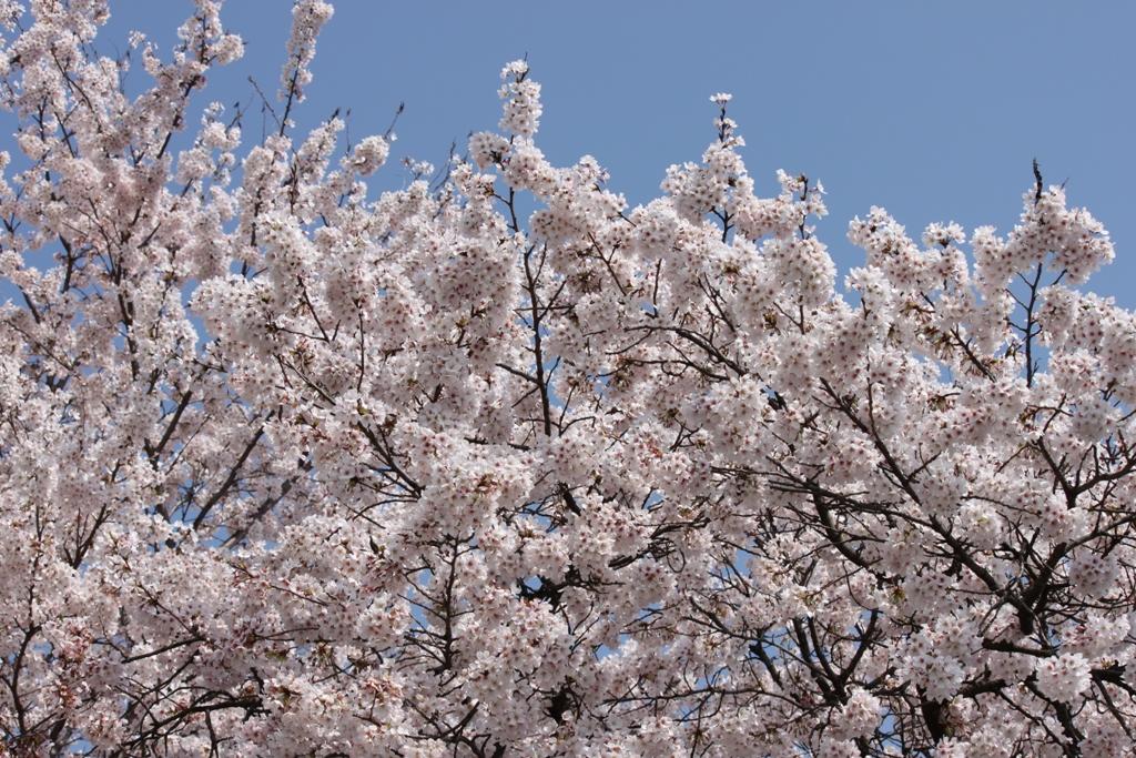 Sakura tour in Yamanashi (15)