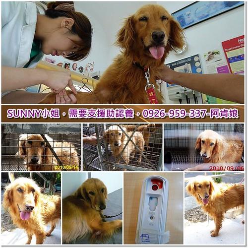 「需要支援認助養」桃園從竹北收容所救出的黃金獵犬SUNNY小姐~基本健檢中了心絲蟲,懇請贊助醫療資源,也徵助認養喔~隨手幫忙轉PO也是非常重要~謝謝您!20100916