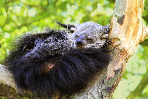 Binturong in dreams by jinterwas, on Flickr