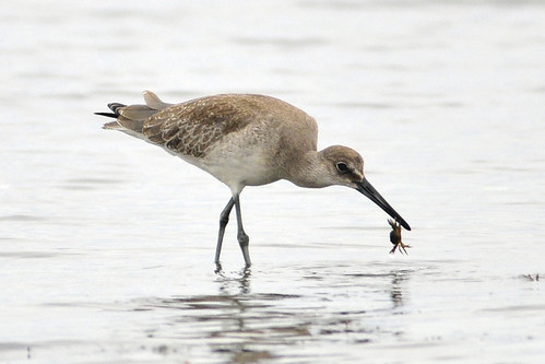 western willet catches crab 3