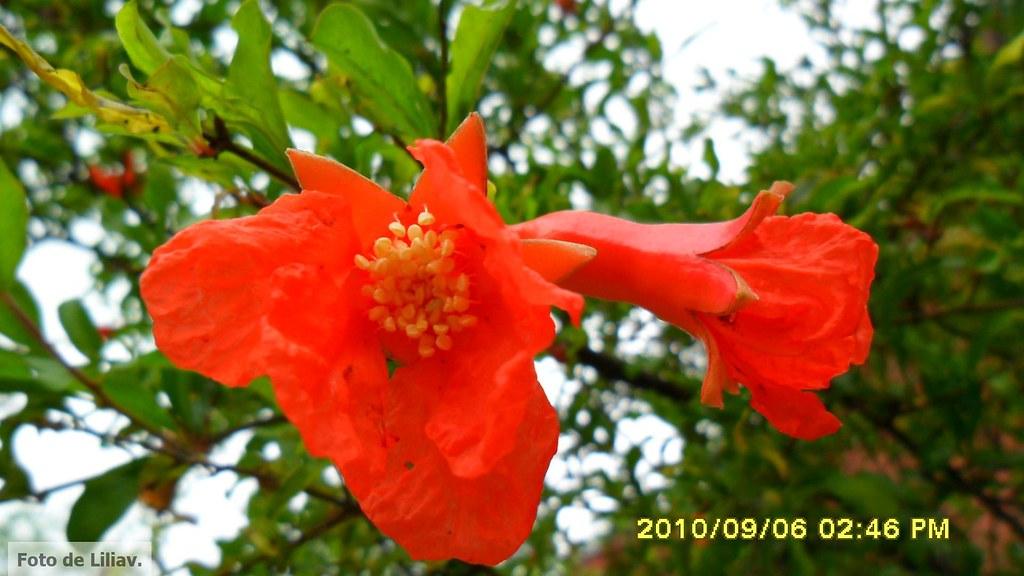 A Flor da Romăzeira - Punica granatium  - Romă é o fruto do dinheiro e da fortuna - Foto de Liliav -