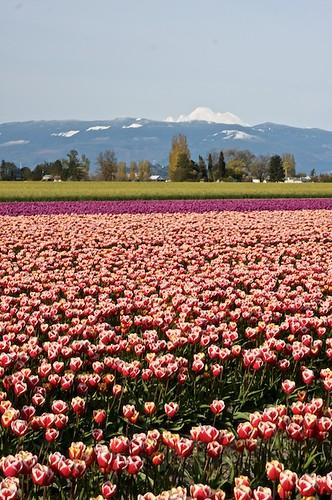 Tulip Festival
