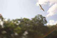 Flare (heart_of_au) Tags: trees sky bird tampa diy nikon florida bokeh seagull gull sony flight flare 20mm nikkor wat f28 ts tiltshift nex nikon20mmf28 palmriver watmongkolrata nex3 sonynex