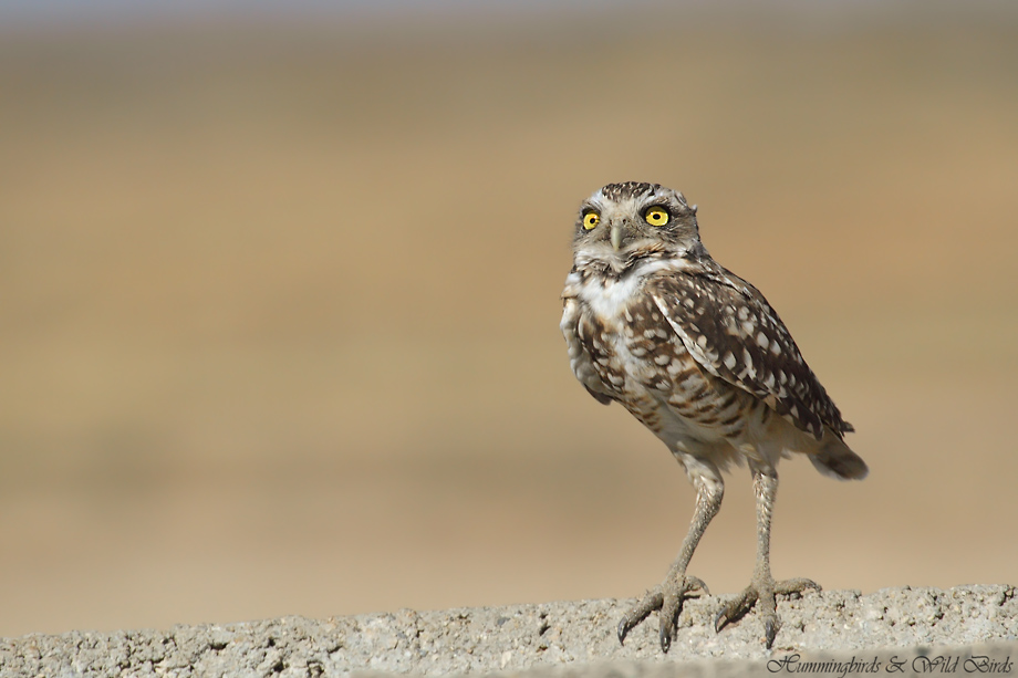 burrowing-owl-27-091910