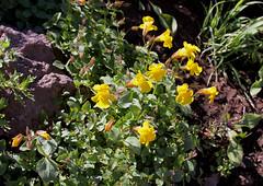 Larger Mountain Monkeyflower (Mimulus tilingii) (Arboreal Boids) Tags: flower oregon monkeyflower wildflower harneycounty steensmountains phrymaceae lamiales mimulustilingii largermountainmonkeyflower mimilus