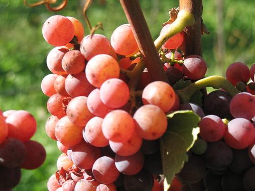 Die Sorte Gewürztraminer, tortz ihrer orangeroten bis rostigen Farbe eine der vorzüglichsten Weissweinsorten