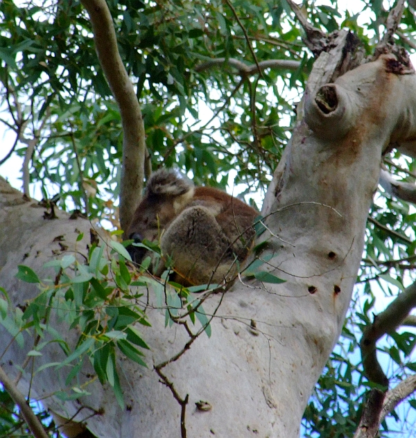koala naptime 2