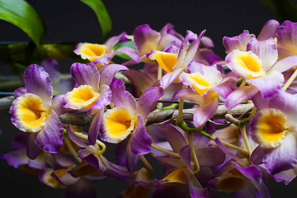 Una variante de la familia de las orquídeas nos deleita la vista con sus colores violeta, blanco y amarillo. (Tetsu Espósito - Asunción, Paraguay)