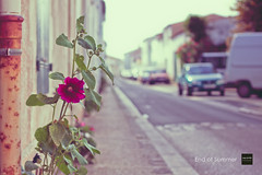 End of Summer (Jaap de Wit) Tags: flowers summer france colors canon geotagged eos dof bokeh frankrijk f18 ilederé kleuren 500d leboisplageenré summervibes jaapdewit rebelt1i creamycyan