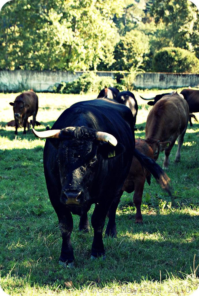 Cows 5.2 bis