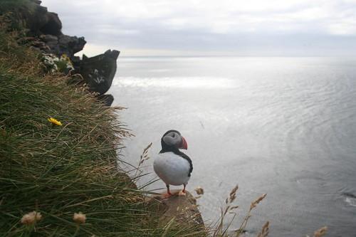 Látrabjarg e Papagaios do Mar Puffins na Islândia