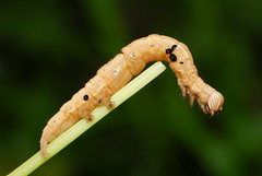Inchworm (Rundstedt B. Rovillos) Tags: macro insect inchworm reverselens denr macrophotography pawb nikond200 nikkor1855mm sooc straightoutofcamera reverselensadapter nikonsb400 diyflashdiffuser protectedareasandwildlifebureau napwc walangmapost ninoyaquinoparksandwildlifecenter departmentofenvironmentandnaturalresources photosfromthebaul rundstedtbrovillos kentuckyfriedchickenplasticbucketlid diykfcflashdiffuser onehandmacroshootmethod kfcdiffuser walangmaposthehehe