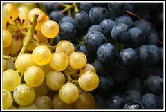 Vendemmia 2010 (AWD Alessandro Vecchi) Tags: autumn fall texture wine violet grapes uva autunno grape vino grapeharvest vendemmia barbera bonarda pavese grappolo oltrep moscato acini grappoli croatina alessandrovecchi