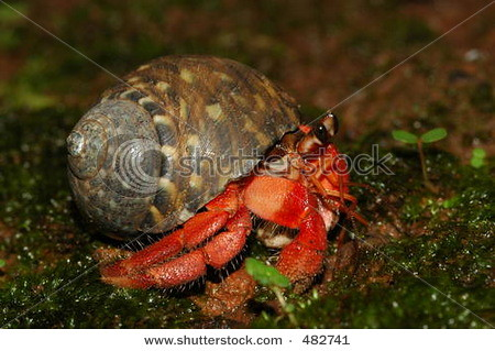 stock-photo-red-land-hermit-crab-coenobita-rugosa-from-java-island-indonesia-482741