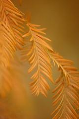 Dawn redwood (mellting) Tags: plant tree fallfoliage dawnredwood bloggad mellting rothfossparken matsellting