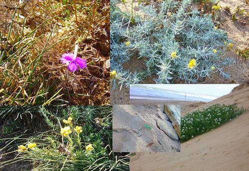 fleurs de dune