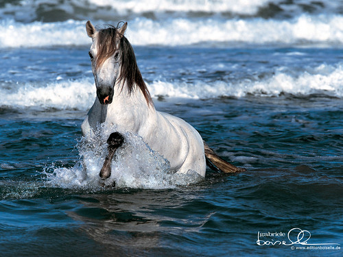 White+horses+running+on+beach