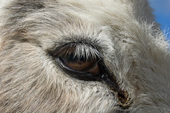 A Donkeys eye (Alastair Cummins) Tags: ass donkey devon sanctuary sidmouth